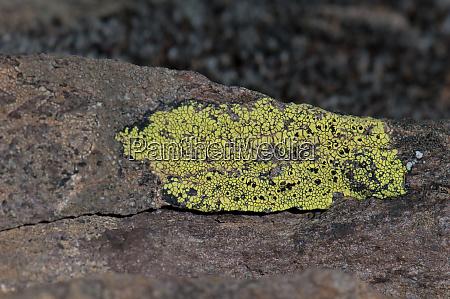 lichen on a rock in las