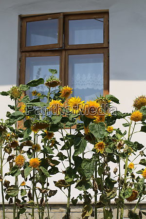 decorative sunflower used as decoration on