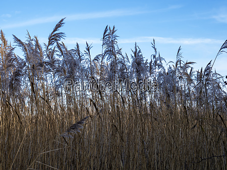 reeds blowing in the breeze with