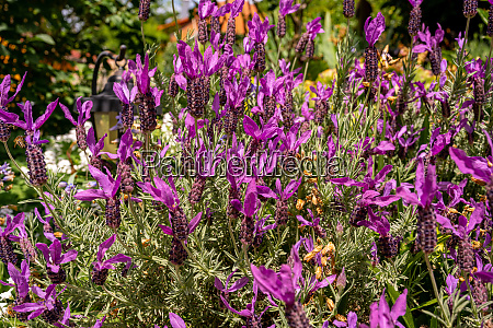 beautiful lavender grows in the garden