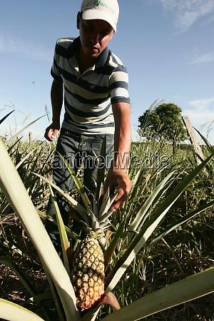 pineapple plantation in eunapolis