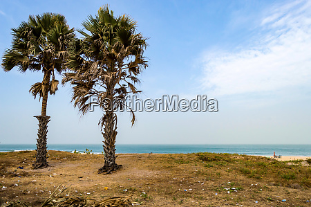 two palm trees on bijilo beach