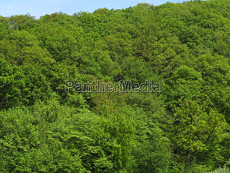 mixed deciduous forest in spring looking
