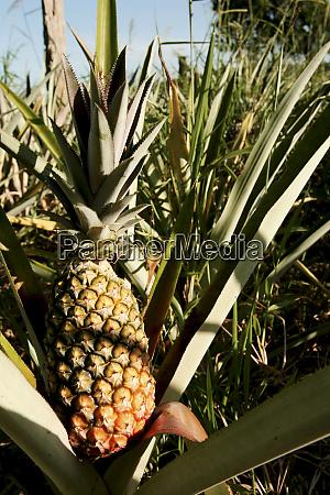 pineapple plantation in southern bahia