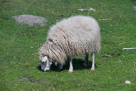 lone domestic sheep on a farm