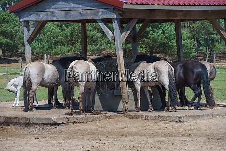 polish primitive horse konik on a