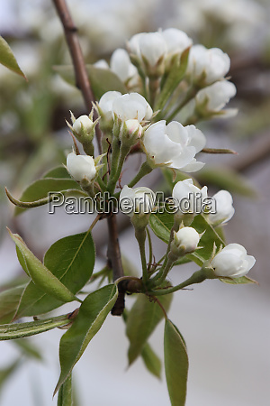 pear tree inflorescence