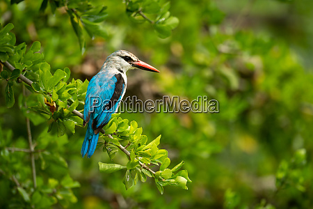 woodland kingfisher on leafy branch looking