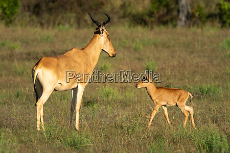young hartebeest approaches mother in sunlit
