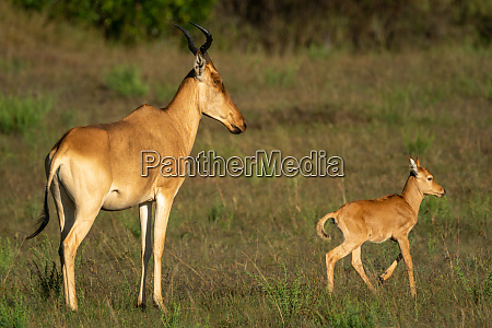 young hartebeest leaves mother in sunlit