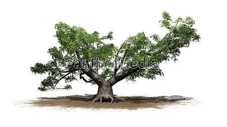 japanese maple tree a single green
