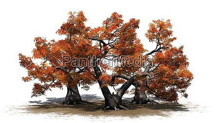 several various japanese maple trees in
