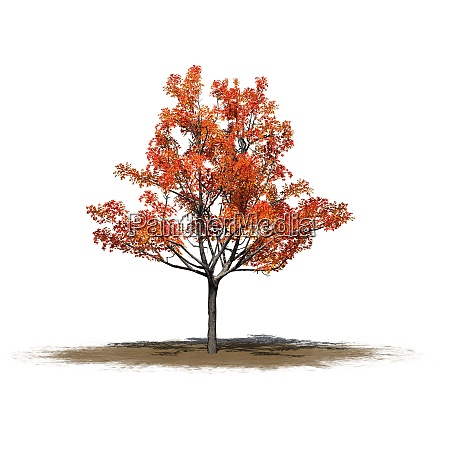 a single japanese maple tree in