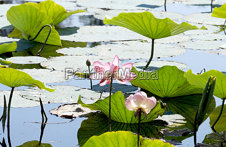 lotuses in a flood plain of