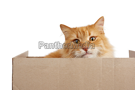 adult ginger cat sitting in a