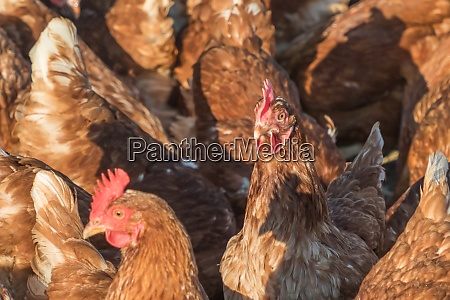 group of brown chickens live outdoors