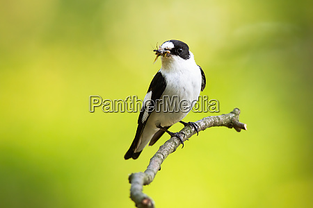 adult european pied flycatcher perched on