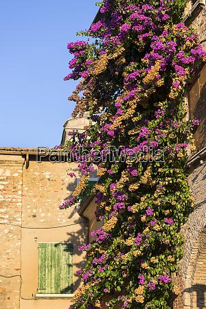 multicolored bougainvillea flowers decorative creeper malcesine