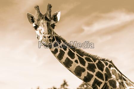 upper body of a giraffe in