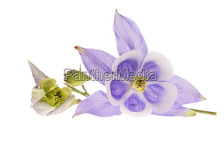 flower of aquilegia vulgaris isolated on