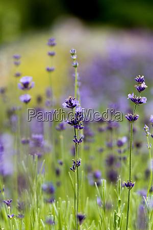 violet flowers of lavender blooming in