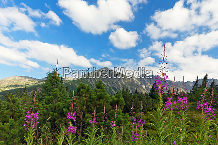 view on tatra mountains and violet