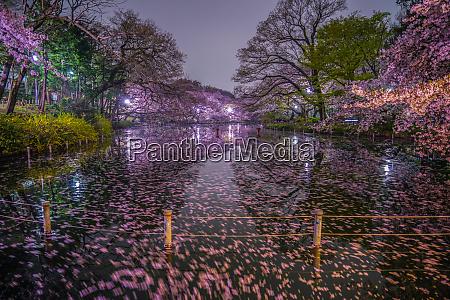 cherry blossoms of inokashira park