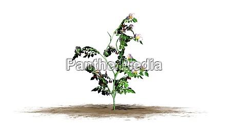 dog rose bush flowers