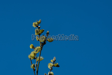willow branches with honybee with blue