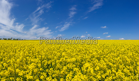 yellow blooming rapeseed field with scenic