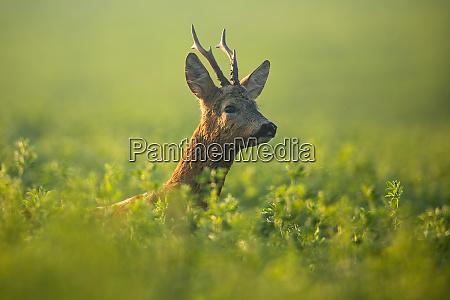 roe deer buck looking for mate