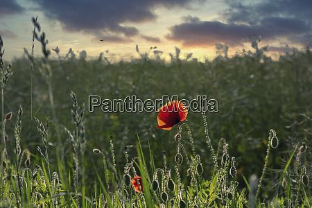 poppy flower in a green meadow
