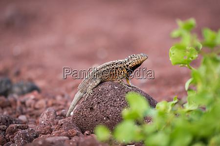 lava lizard perched on rock beside