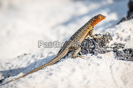 lava lizard perched on stone on