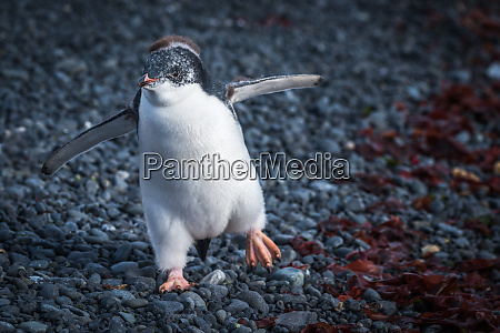 funny adelie penguin chick waddling on