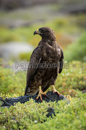 galapagos hawk with turned head on