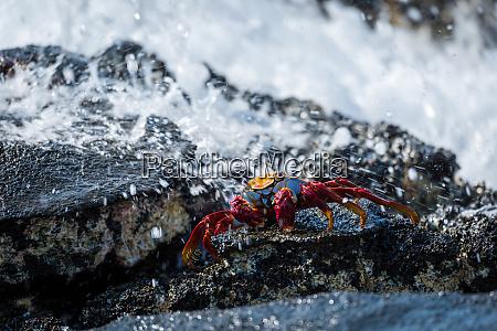 sally lightfoot crab hit by ocean