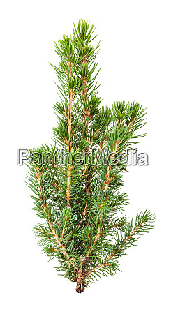fresh twigs of natural spruce isolated
