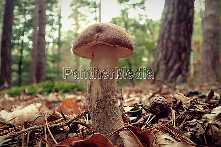 brown mushroom in the forest