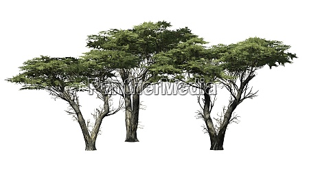 monterey cypress tree cluster on white