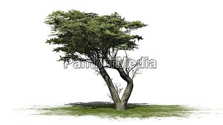 monterey cypress tree on white background