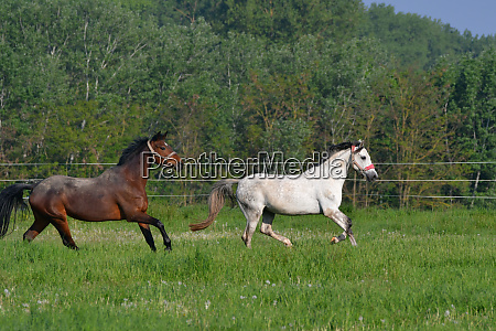two horses galloping in a green