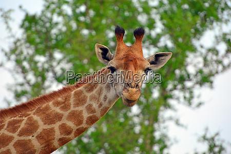 hlane royal national park swaziland giraffe