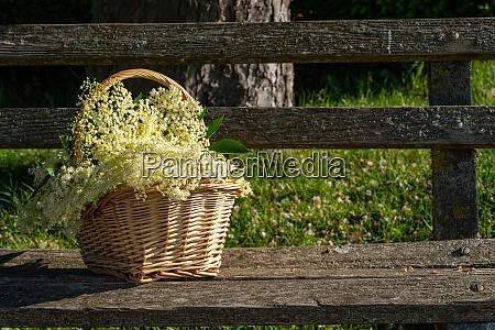 a basket with freshly harvested elderberry