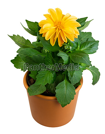 isolated potted dahlia flower
