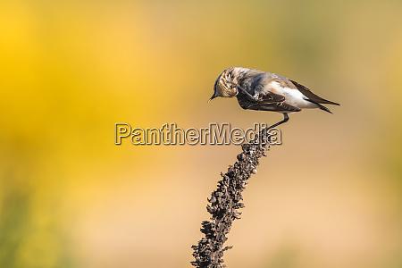 common wheatear oenanthe oenanthe