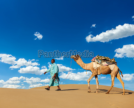 cameleer camel driver with camels in