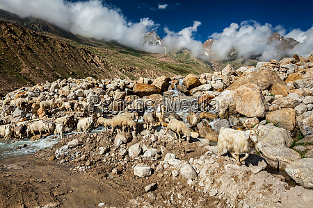 herd of pashmina sheep in himalayas
