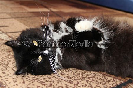 black cat laying on carpet in