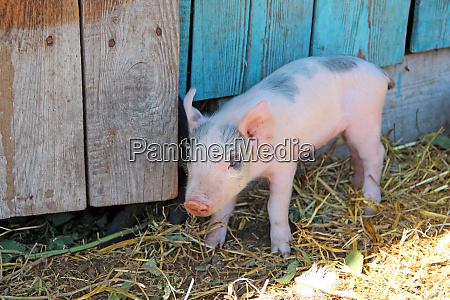 small piglet running jolly on farm
